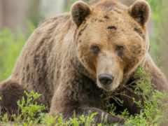 медведь, браун, бурые