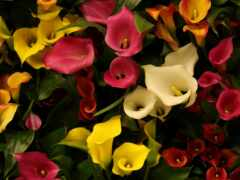 цветы, calla, yellow