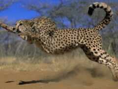 animal, гепард, oir