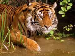 река, тигр, охота