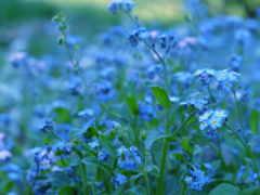 cvety, голубые, синие