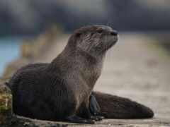 otter, море, animal