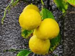 плод, цитрус, цитрон
