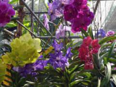 орхидея, thai, цветы