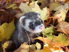 осень, листьях, хорек