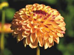yellow, dahlia, цветы