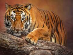 тигр, animal, лапа
