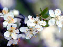 makryi, branch, цветы