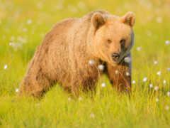 медведь, браун, поляна