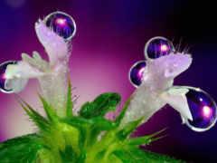 цветы, капли, росы