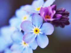 small, blue, цветы