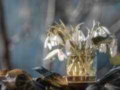 лист, подснежник, весна