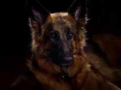овчарка, german, собака