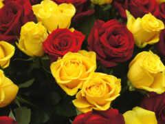 роза, красное, цветы