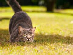 перед, прыжком, кошки