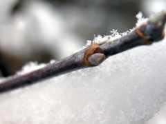 почки, растений, winter