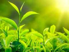 чая, зелёный, стать