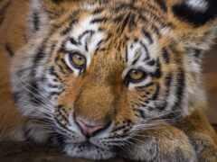 тигр, ложь, tigris