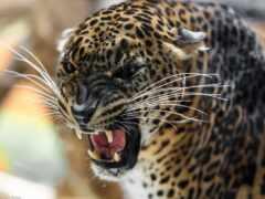 леопард, oir, funart