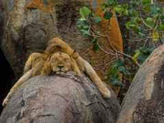 lion, камень, природа