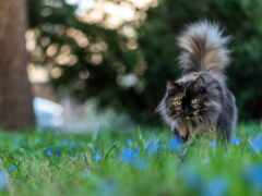 кот, серый, пушистый