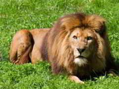 animal, лев, трава