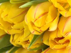 cvety, тюльпаны, many