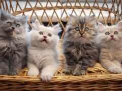 oir, котенок, stokchetyre
