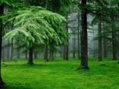 лес, еловый, яndex