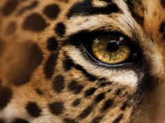 леопарда, глаз, national