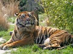 tiger, tigers