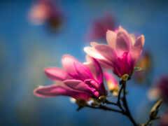magnolia, tapety, kwiaty