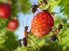 ant, муравьев, stokovyi