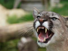 puma, cougar, lion