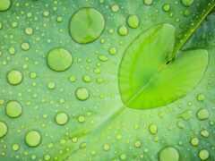 leaf, lotus, water