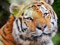 тигр, взгляд