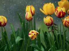 дождь, tulips, flowers