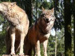 волк, два, волка