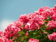 роза, цветов, ipad