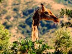 color, жираф, animal