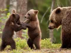 medvezhonok, медведь, два