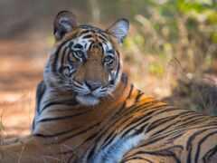 тигр, бенгальский, tigris