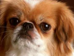 пекинский, собак, пекинеса