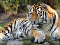wild, кот, тигр