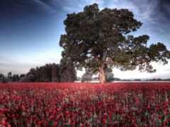 поле, природа, дерево