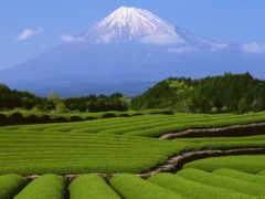 чайные, плантации, чайная