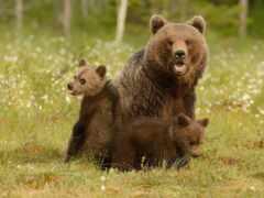 медведь, трава, смотреть