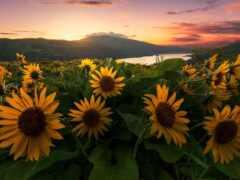 подсолнух, закат, цветы