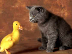 кот, котенок, утенок
