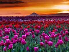 тюльпаны, oregon, весна
